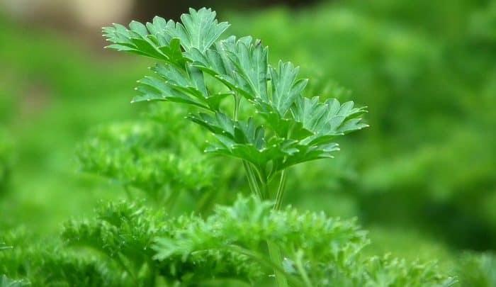 parsley benefits in hindi