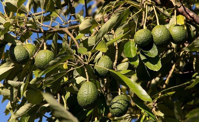 avocado tree in hindi