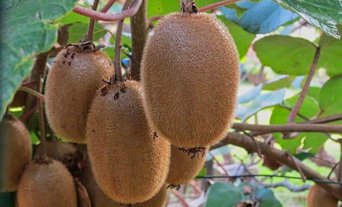 kiwi plant in hindi