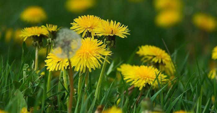 dandelion benefits in hindi