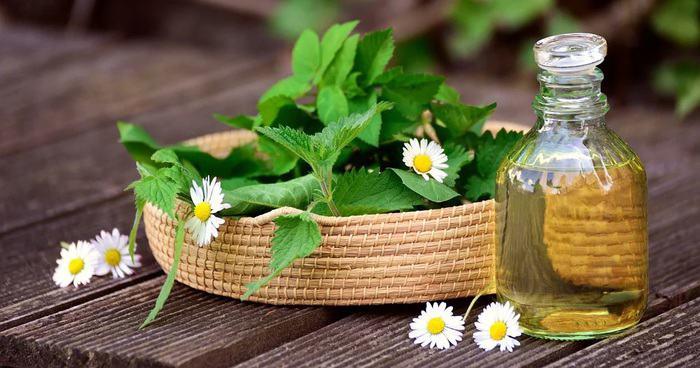 dandelion uses in hindi