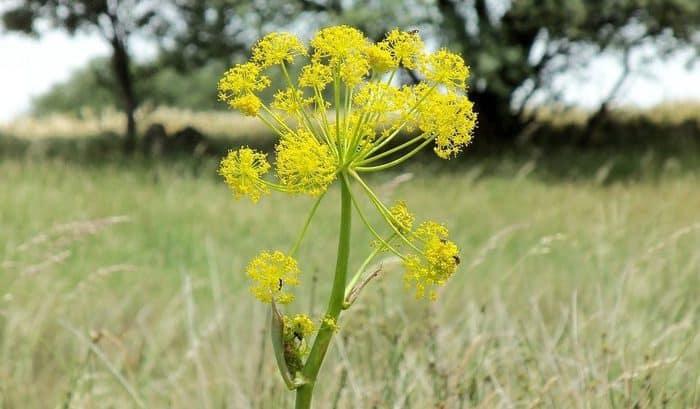 asafoetida plant in hindi