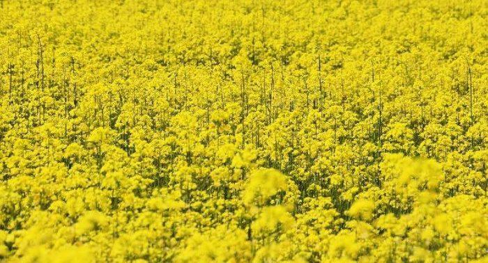 mustard plant in hindi