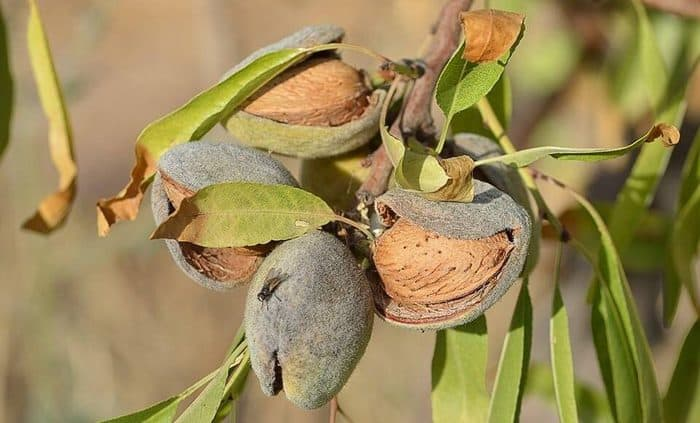 almond tree in hindi