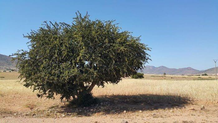argan tree in hindi