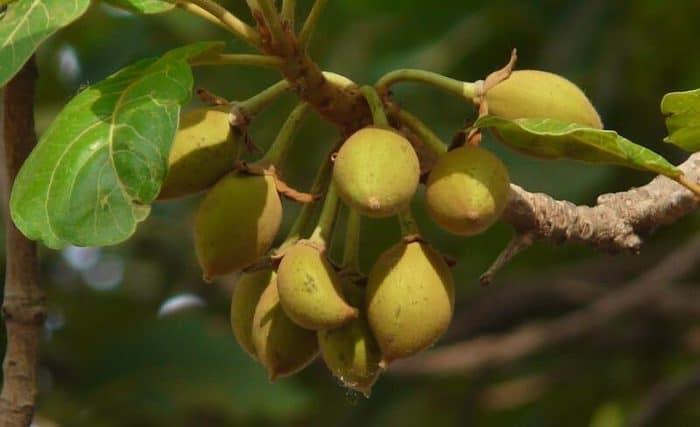 panner ke phool tree