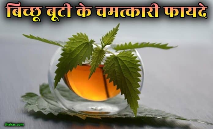 nettle leaf in hindi