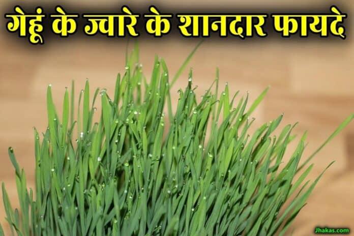 wheatgrass in hindi