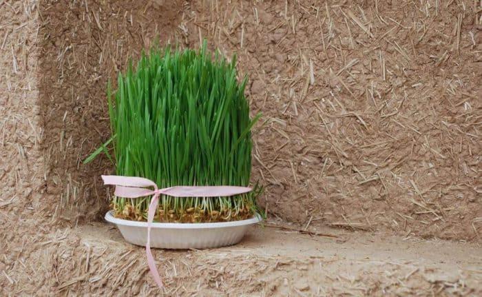 wheatgrass ke fayde