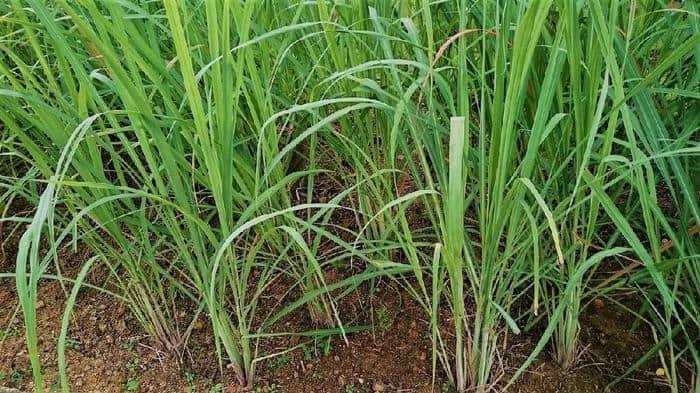 lemon grass benefits in hindi