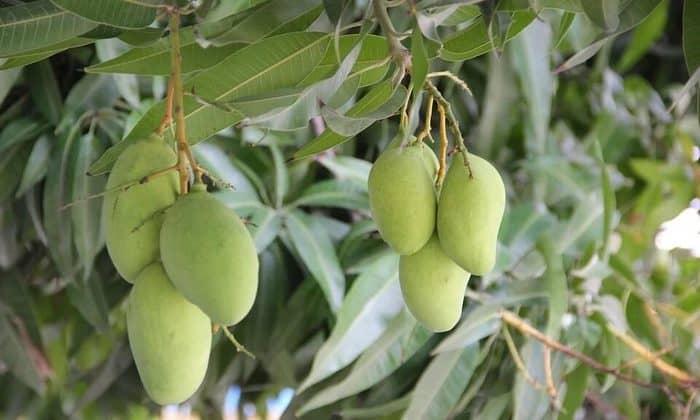mango tree in hindi
